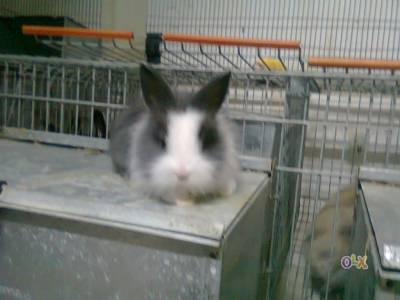 coelhos anoes
