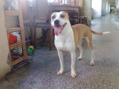 BIANCA American Terrier linda