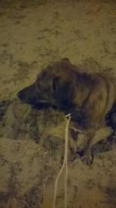 Procura-se Cão arraçado de Rafeiro Alentejano