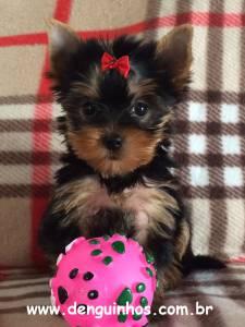 Filhote de Yorkshire Terrier Yorkshire venda