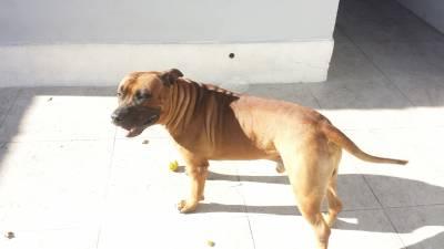 American staffordshire terrier macho para cruza