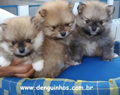 Filhotes Lulu Pomerania