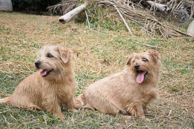 Norfolk Terrier filhotes