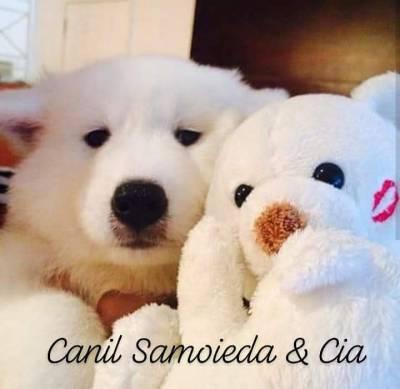 SAMOIEDA FILHOTES