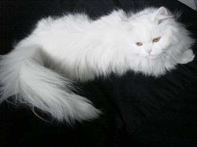 gatinha persa de um ano e meio procura namorado