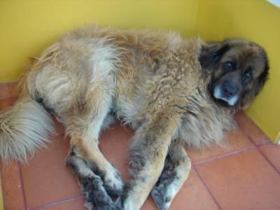 Cao  Serra da Estrela procura cadela da mesma raca