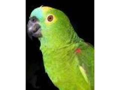 Assovios Músicas Falas Papagaios Calopsita
