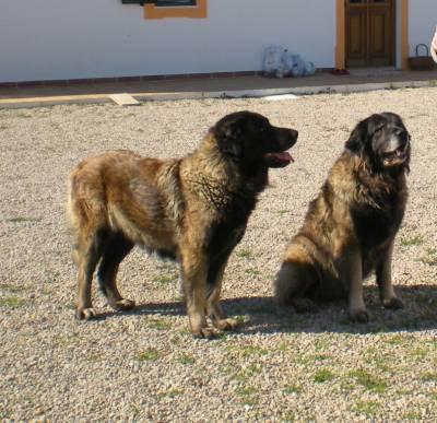 Procura-se  cadelas Pastoras da Serra a Estrela