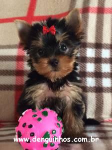 Filhotes de Yorkshire Terrier a venda em SCS