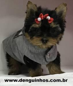 Filhote de Yorkshire Terrier a venda SP
