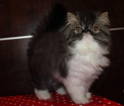 vendo  gatinhos persas exoticos lh