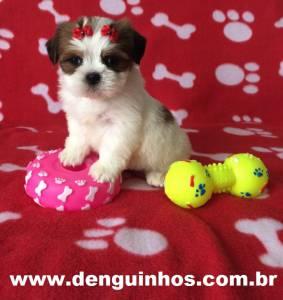 Filhote de Shih Tzu em São Caetano do Sul no ABCD