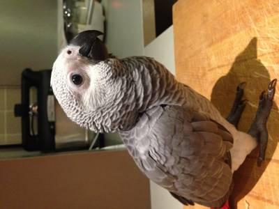 Papagaia africana Amélia