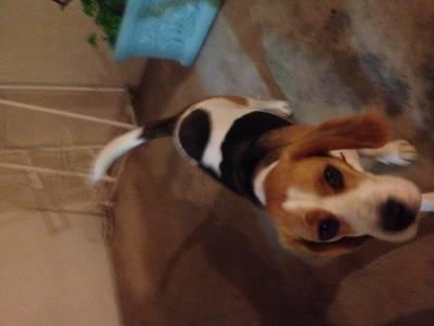 Cadela Beagle perdida em Alverca