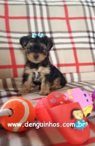 Filhote de Yorkshire Terrier a venda