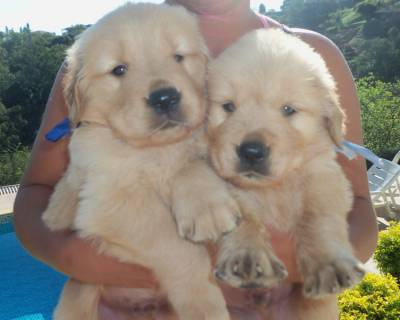 Lindos Filhotes de Golden Retriever