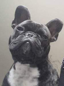 Bulldog Frances procura namorada