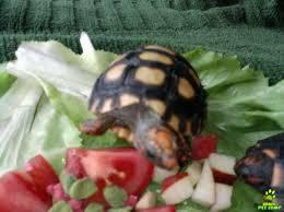 Tartaruga de terra
