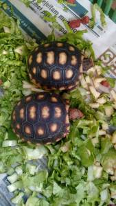 Filhote de tartaruga para vender