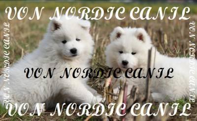 Samoieda Filhotes Von Nordic