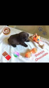 AFilhote Shihtzu Chocolate sólido