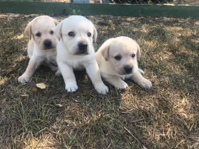 Filhotes de Retriever do Labrador