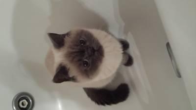 Procuro de um gato British shorthair