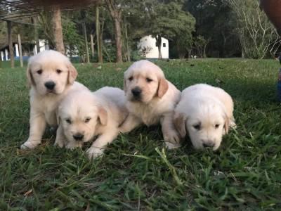 Lindos Filhotes de Golden Retriever