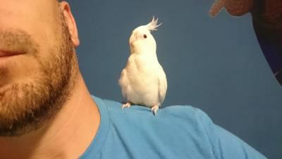 Vendo Casal de Calopsita Albino