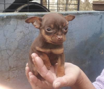 Chihuahua filhotes