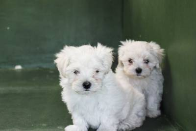 Filhotes de Maltes - Canilchempsdog