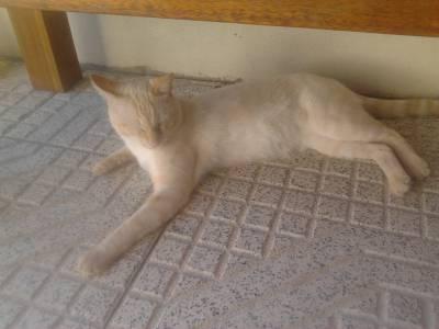 Gatinho desapareceu em Leiria