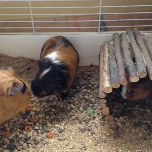 Família de porcos da índia