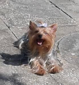 Yorkshire Terrier femea procura de um namorado