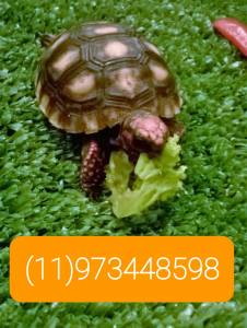 Filhote de tartaruga