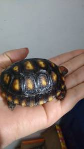 Tartaruga terrestre a venda em sp