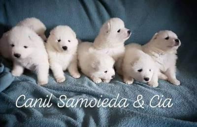 lindos filhotes de samoieda