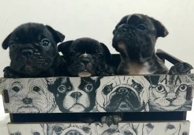 Bulldogue Francês filhotes