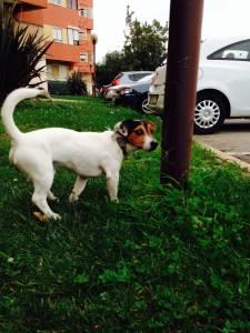 Jack Russell Terrier Procura Namorada