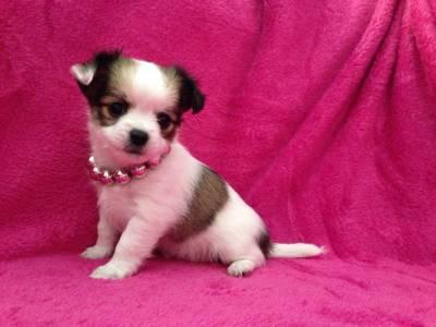 Preciosos cachorritos de chihuahua toy