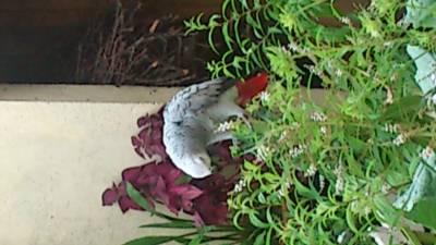 Procura se papagaio africano