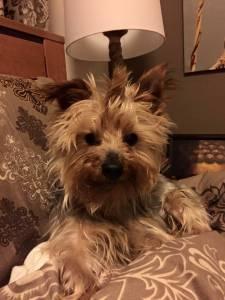 Yorkshire Terrier para acasalar raça indiferenent