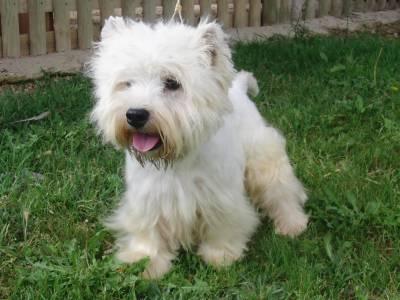 West Highland White Terrier Adulta