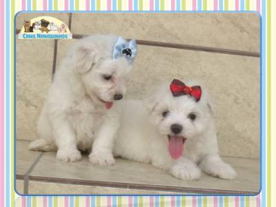 Cachorro Maltês a venda