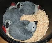 Papagaios cinzentos cauda vermelha mansos