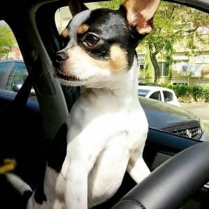 Chihuahua Macho procura namorada