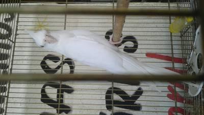 Casal calopsita albina branca