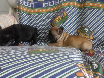 Linda ninhada Bulldog Frances