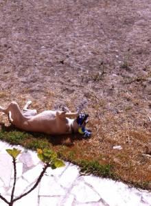 Cão rafeiro para adoção URGENTE