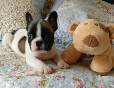 BULLDOG FRANCES COM PEDIGREE